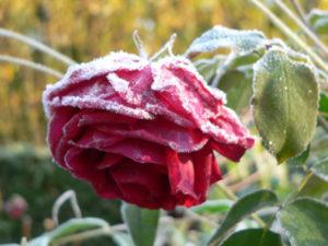 verschneite Rose